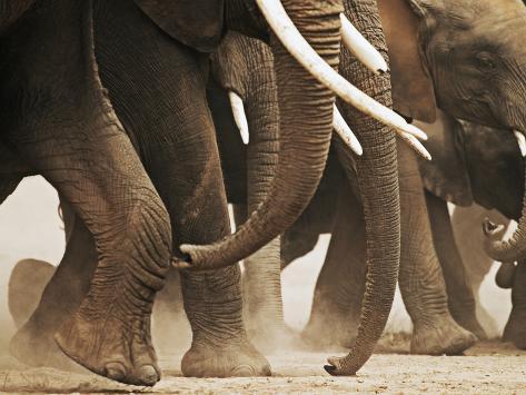 Elephant Herd on the Move Fotografie-Druck