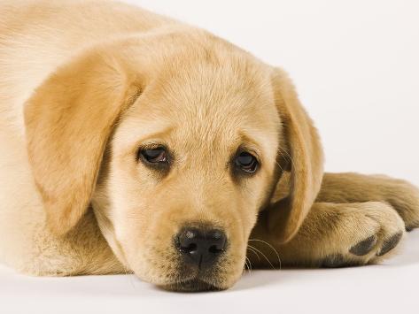 Golden Labrador Retriever Puppy Fotografie-Druck