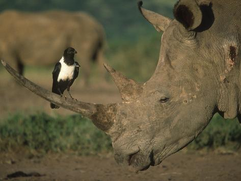 Pied Crow Perched on White Rhino Fotografie-Druck