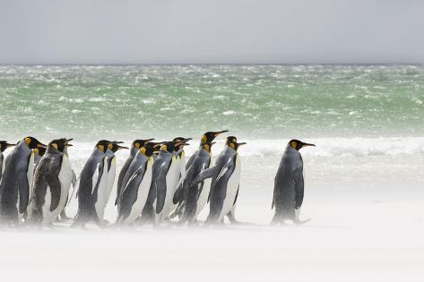 Falkland Islands, South Atlantic. Group of King Penguins on Beach Fotografie-Druck