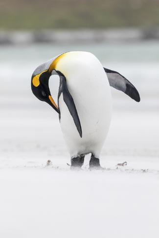 King Penguin, Falkland Islands, South Atlantic Fotografie-Druck