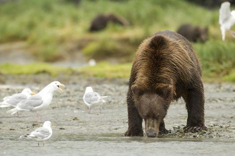 Brown Bear with Sea Gull Fotografie-Druck