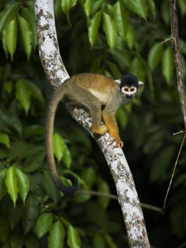 Squirrel Monkey Climbing on a Tree Branch Fotografie-Druck