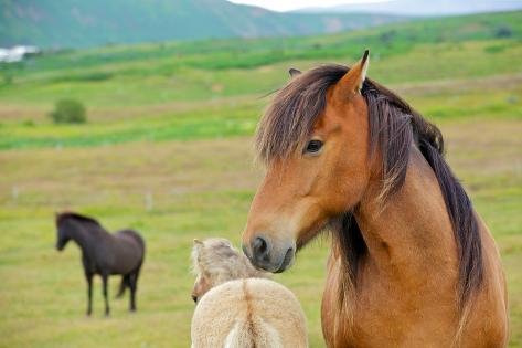 Island Pferd Fotografie-Druck