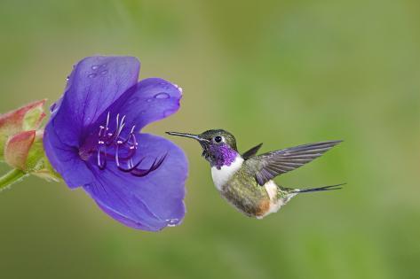 Purple-Throated Woodstar Hummingbird (Calliphlox Mitchellii) Flying to Garden Flower Fotografie-Druck
