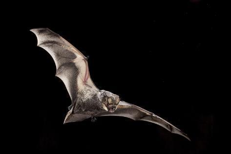 Male Hoary Bat (Lasiurus Cinereus) in Flight Fotografie-Druck