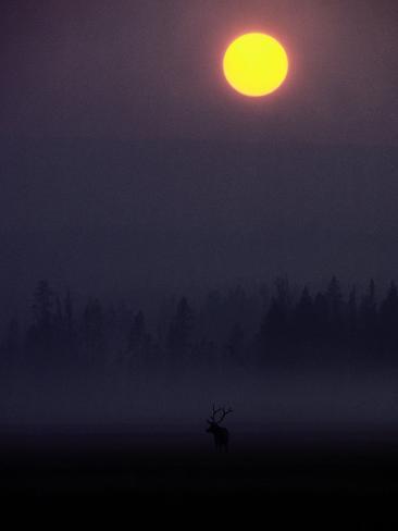 A Silhouetted Bull Elk Fotografie-Druck
