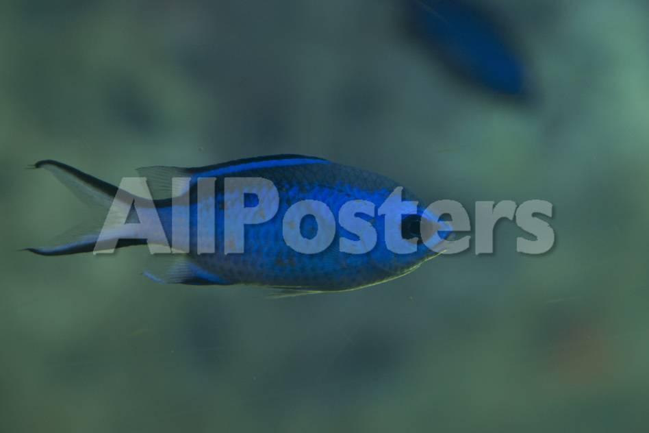 Blauer Fisch Fotografie-Druck von Mike Aguilera bei AllPosters.de
