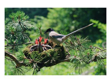 Mother Bird Feeding Nestlings Kunstdruck