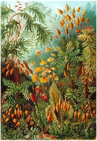 Image of: Street Art Allposters Muscinae Nature Art Print Poster By Ernst Haeckel Foto Bij Allpostersnl