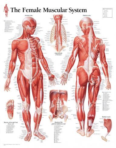 Muscular System Female Educational Chart Poster Poster bij AllPosters.nl
