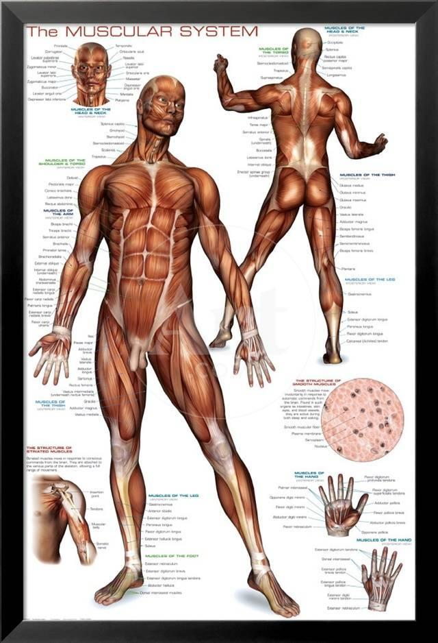 Nett Muskelsystem Wichtige Funktionen Fotos - Anatomie Von ...