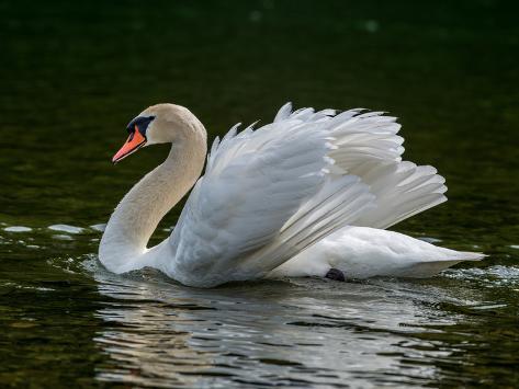 Mute swan (Cygnus olor) displaying plumage in lake, Sooke, Vancouver Island, British Columbia, C... Fotografie-Druck