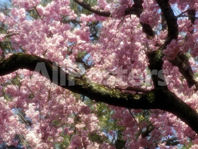 Cherry Blossom Tree In Bloom Tokyo Japan Fotoprint Van Nancy