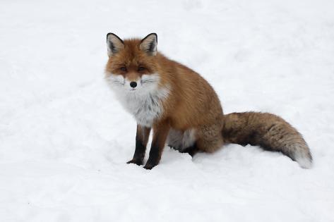 Red Fox in Snow Fotografie-Druck