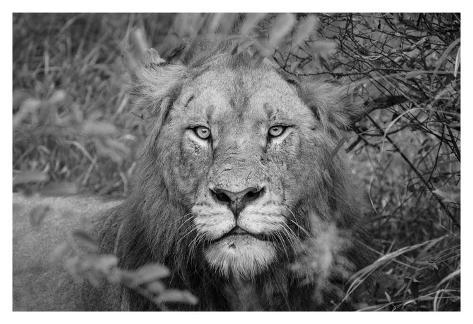 Into the eyes of the lion Kunstdruck