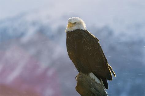 A Portrait of an American Bald Eagle, Haliaeetus Leucocephalus Fotografie-Druck