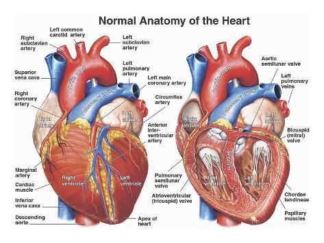 Normal Anatomy of the Human Heart Gicléedruk van Nucleus Medical Art ...