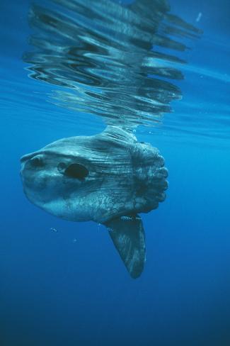 Ocean Sunfish Fotografie-Druck