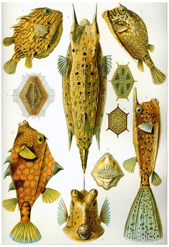 Ostraciontes Nature Art Print Poster by Ernst Haeckel Poster