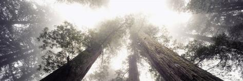 Redwood Trees in a Forest, Redwood National Forest, California, USA Fotografie-Druck