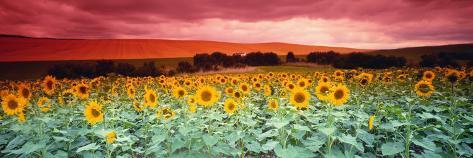 Sunflowers, Corbada, Spain Fotografie-Druck