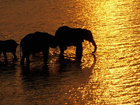 African Elephants, Okavango Delta, Botswana Fotografie-Druck