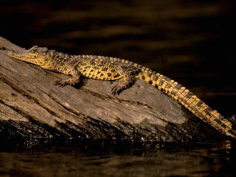 Nile Crocodile, Chobe National Park, Botswana Fotografie-Druck
