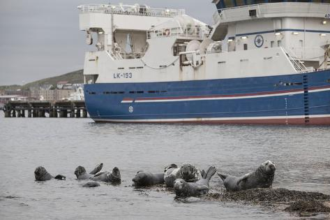 Grey Seals (Halichoerus Grypus) on Haul Out in Fishing Harbour with Ferry in the Background Fotografie-Druck