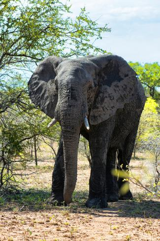 Awesome South Africa Collection - African Elephant II Fotografie-Druck