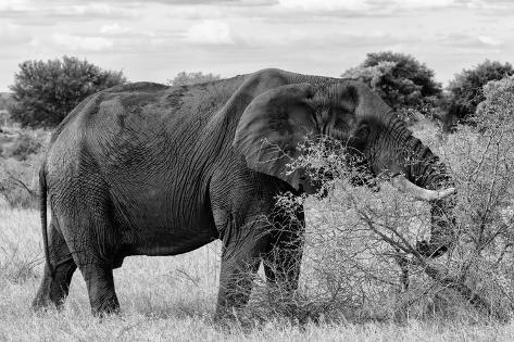 Awesome South Africa Collection B&W - African Elephant III Fotografie-Druck
