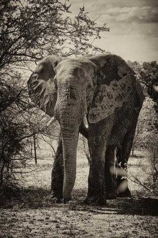 Awesome South Africa Collection B&W - African Elephant Portrait Fotografie-Druck