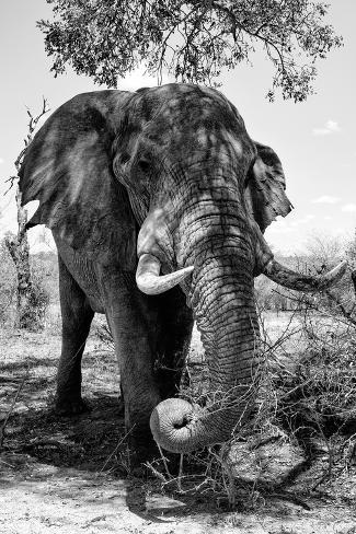 Awesome South Africa Collection B&W - Elephant III Fotografie-Druck