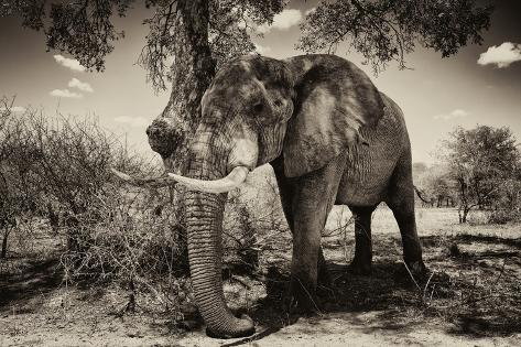 Awesome South Africa Collection B&W - Elephant IV Fotografie-Druck