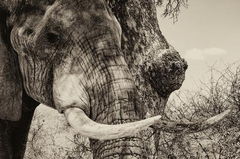 Awesome South Africa Collection B&W - Elephant Portrait II Fotografie-Druck