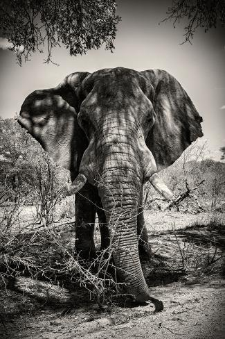 Awesome South Africa Collection B&W - Elephant Portrait IV Fotografie-Druck