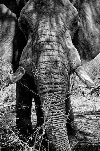 Awesome South Africa Collection B&W - Elephant Portrait IX Fotografie-Druck