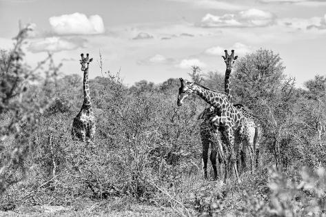 Awesome South Africa Collection B&W - Three Giraffes in the African Savannah Fotografie-Druck
