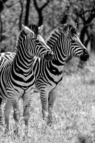 Awesome South Africa Collection B&W - Two Burchell's Zebras II Fotografie-Druck