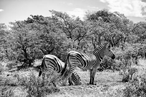 Awesome South Africa Collection B&W - Two Burchell's Zebras III Fotografie-Druck