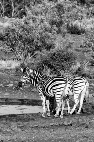 Awesome South Africa Collection B&W - Two Burchell's Zebras IV Fotografie-Druck