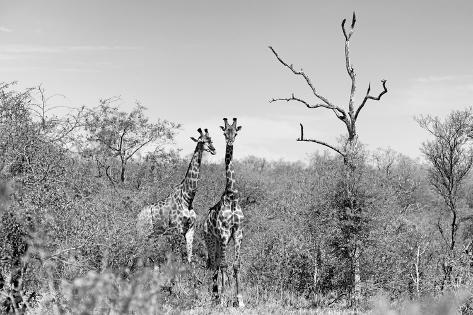 Awesome South Africa Collection B&W - Two Giraffes in the African Savannah Fotografie-Druck