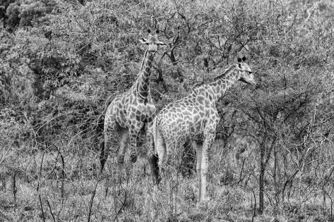 Awesome South Africa Collection B&W - Two Giraffes in the Savanna II Fotografie-Druck