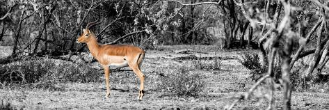 Awesome South Africa Collection Panoramic - Impala Antelope II Fotografie-Druck
