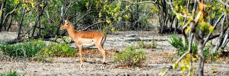 Awesome South Africa Collection Panoramic - Impala Antelope Fotografie-Druck
