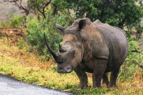 Awesome South Africa Collection - Rhinoceros Fotografie-Druck
