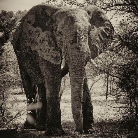 Awesome South Africa Collection Square - Elephant Portrait II Fotografie-Druck