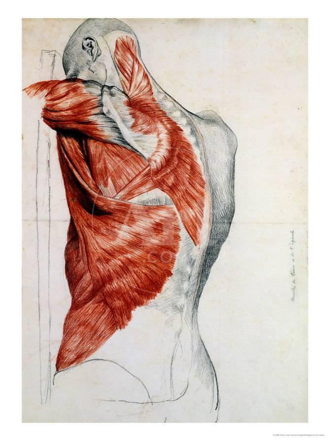 Human Anatomy, Muscles of the Torso and Shoulder Giclée-Druck von ...