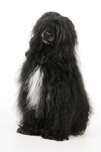 Portugiesischer Wasserhund Fotografie-Druck