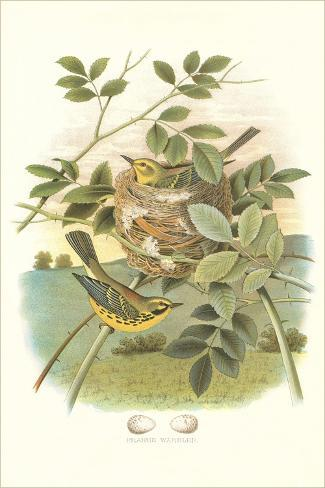 prairie warbler nest and eggs poster bei. Black Bedroom Furniture Sets. Home Design Ideas